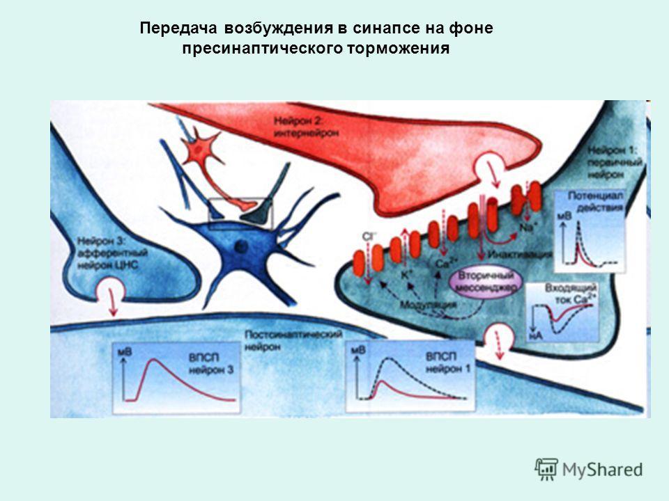 Передача возбуждения в синапсе на фоне пресинаптического торможения
