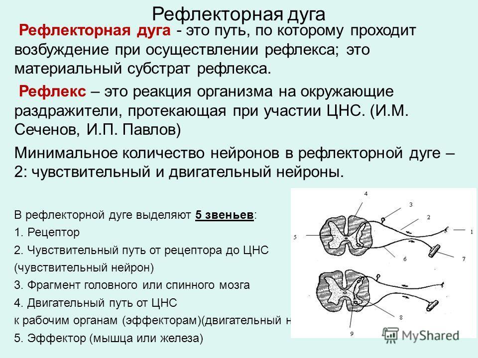 Рефлекторная дуга Рефлекторная дуга - это путь, по которому проходит возбуждение при осуществлении рефлекса; это материальный субстрат рефлекса. Рефлекс – это реакция организма на окружающие раздражители, протекающая при участии ЦНС. (И.М. Сеченов, И