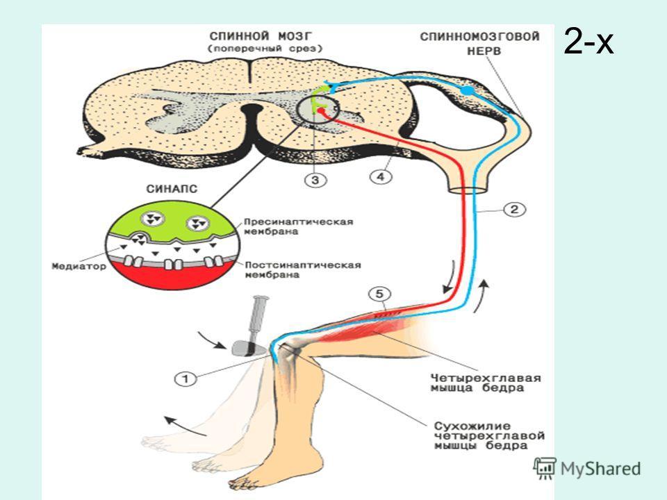 Коленный рефлекс – пример 2-х нейронного рефлекса.