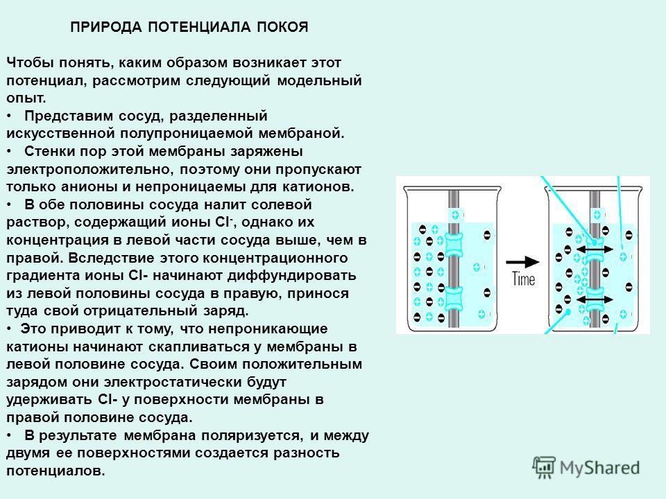 ПРИРОДА ПОТЕНЦИАЛА ПОКОЯ Чтобы понять, каким образом возникает этот потенциал, рассмотрим следующий модельный опыт. Представим сосуд, разделенный искусственной полупроницаемой мембраной. Стенки пор этой мембраны заряжены электроположительно, поэтому
