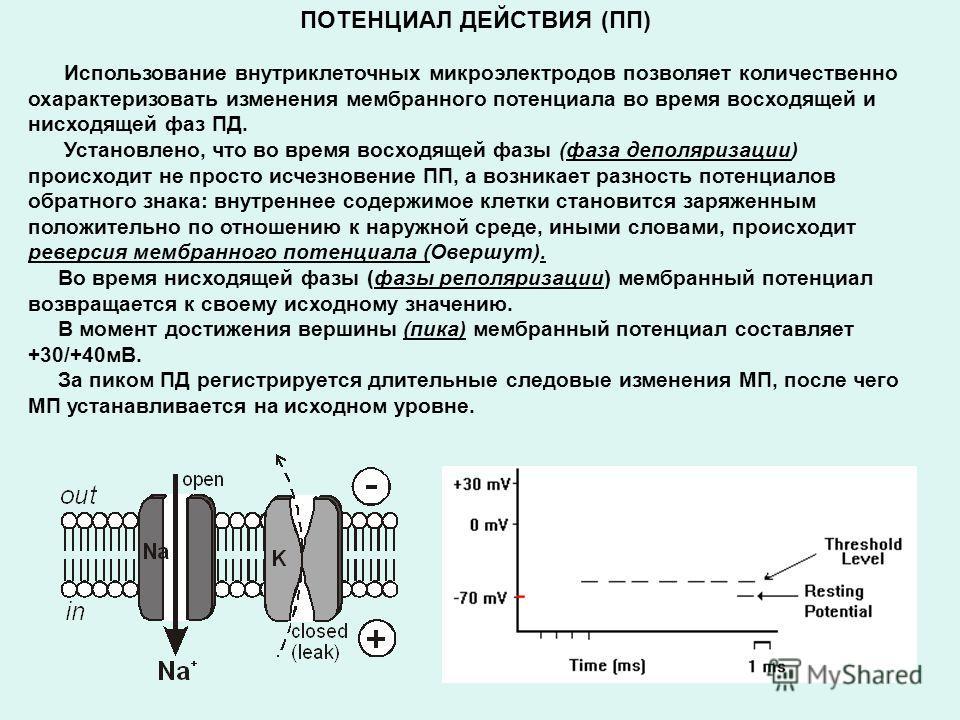 ПОТЕНЦИАЛ ДЕЙСТВИЯ (ПП) Использование внутриклеточных микроэлектродов позволяет количественно охарактеризовать изменения мембранного потенциала во время восходящей и нисходящей фаз ПД. Установлено, что во время восходящей фазы (фаза деполяризации) пр