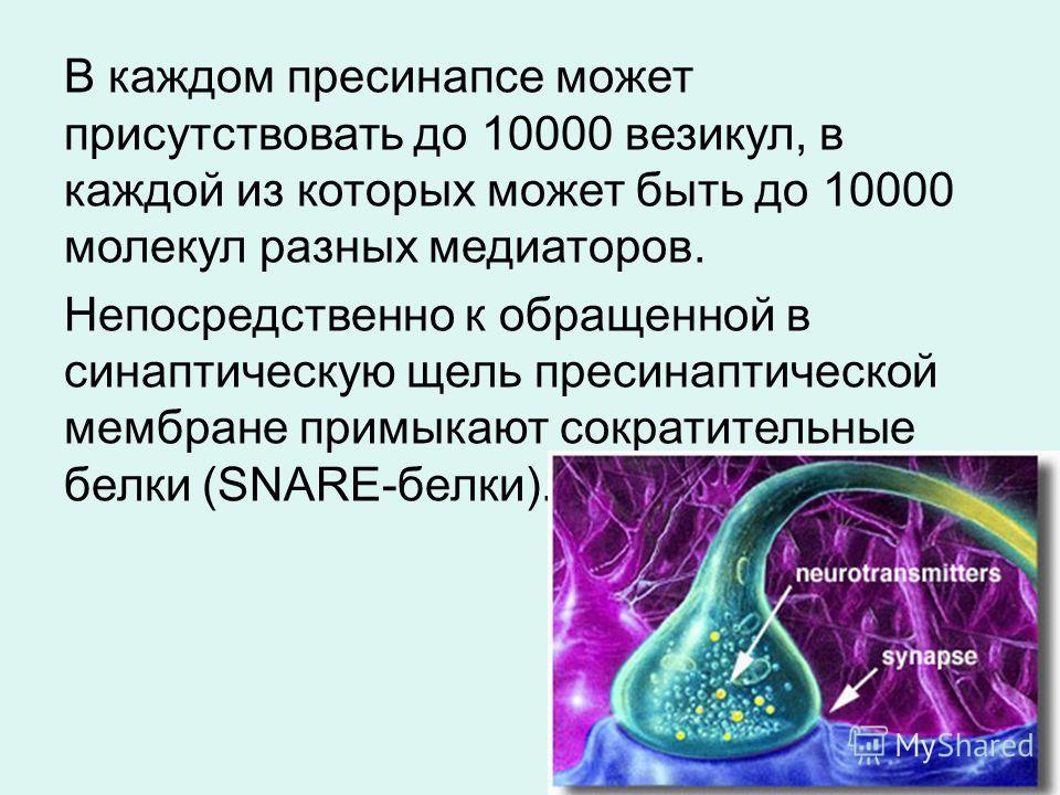 В каждом пресинапсе может присутствовать до 10000 везикул, в каждой из которых может быть до 10000 молекул разных медиаторов. Непосредственно к обращенной в синаптическую щель пресинаптической мембране примыкают сократительные белки (SNARE-белки).