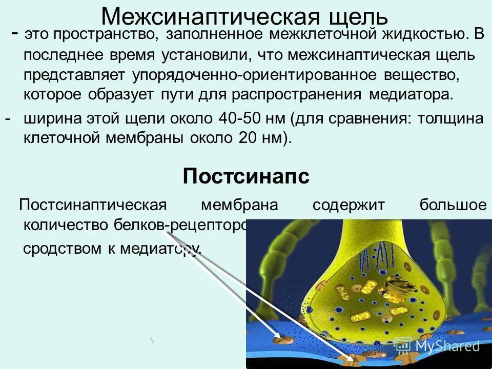 Межсинаптическая щель - это пространство, заполненное межклеточной жидкостью. В последнее время установили, что межсинаптическая щель представляет упорядоченно-ориентированное вещество, которое образует пути для распространения медиатора. -ширина это