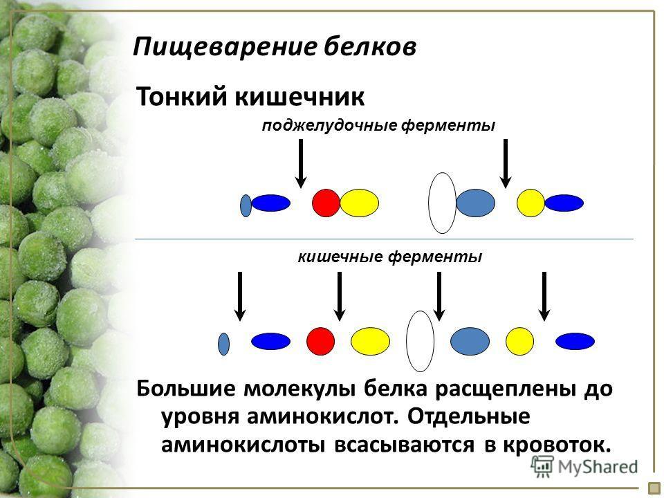Пищеварение белков Тонкий кишечник поджелудочные ферменты кишечные ферменты Большие молекулы белка расщеплены до уровня аминокислот. Отдельные аминокислоты всасываются в кровоток.