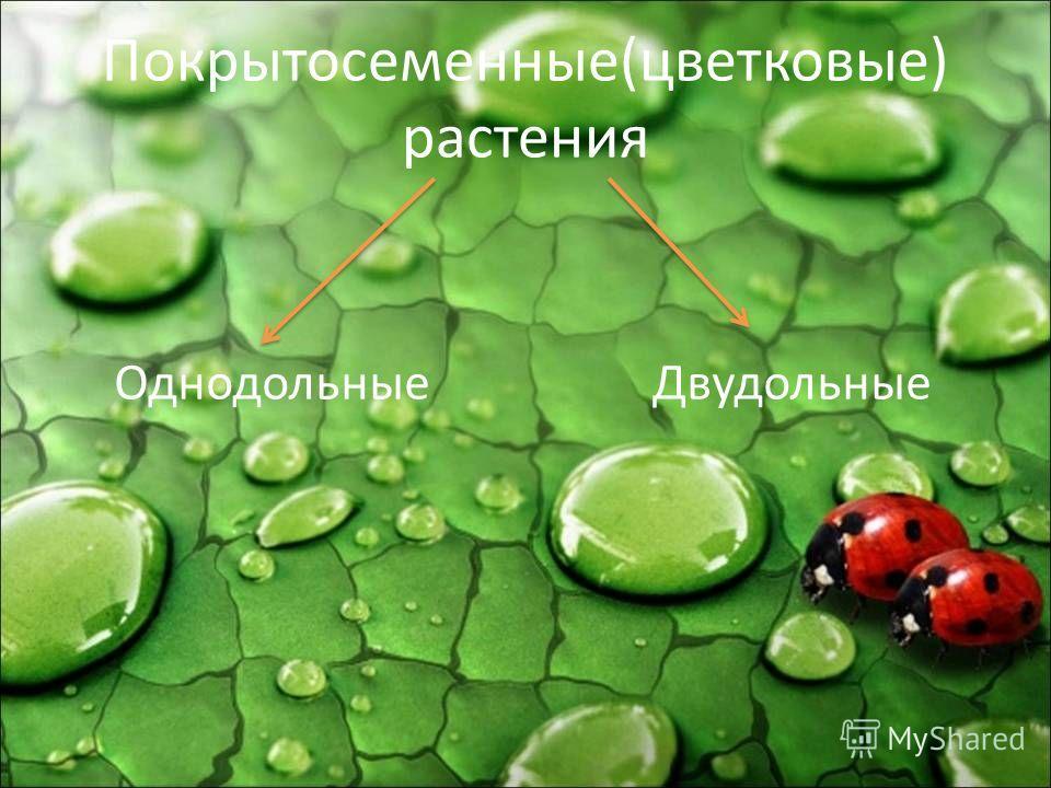 Покрытосеменные(цветковые) растения Однодольные Двудольные