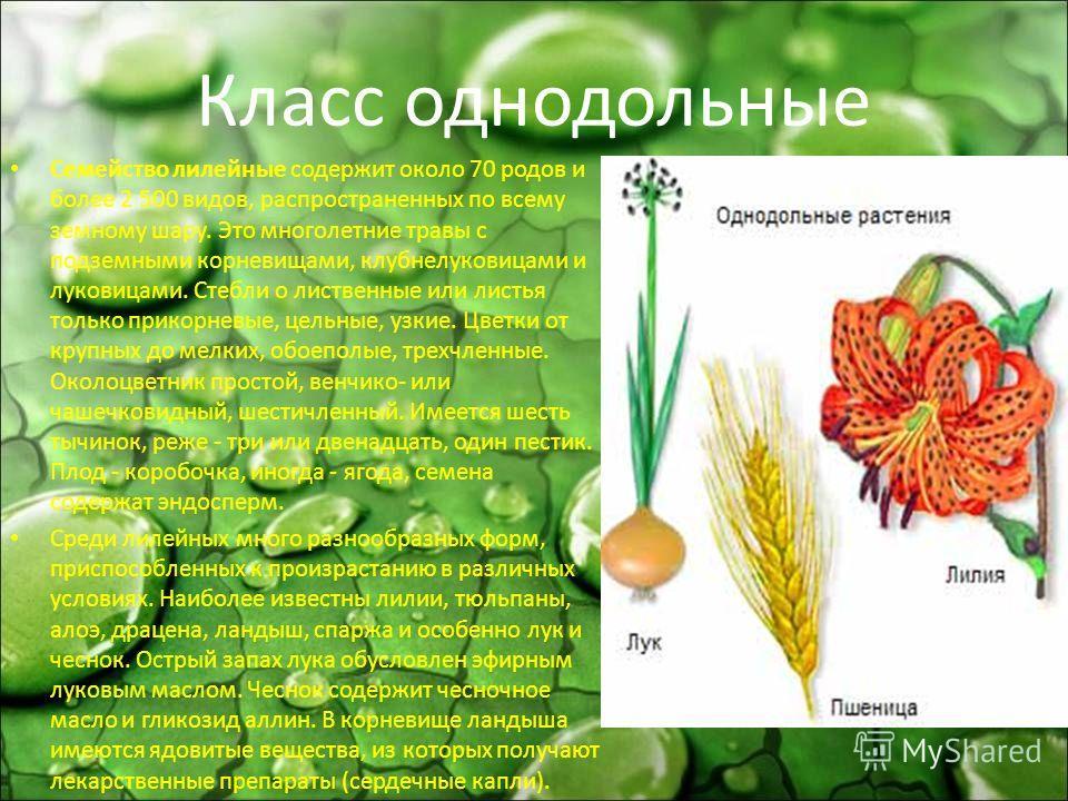 Класс однодольные Семейство лилейные содержит около 70 родов и более 2 500 видов, распространенных по всему земному шару. Это многолетние травы с подземными корневищами, клубнелуковицами и луковицами. Стебли о лиственные или листья только прикорневые