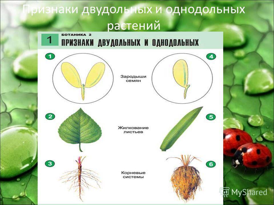 Признаки двудольных и однодольных растений