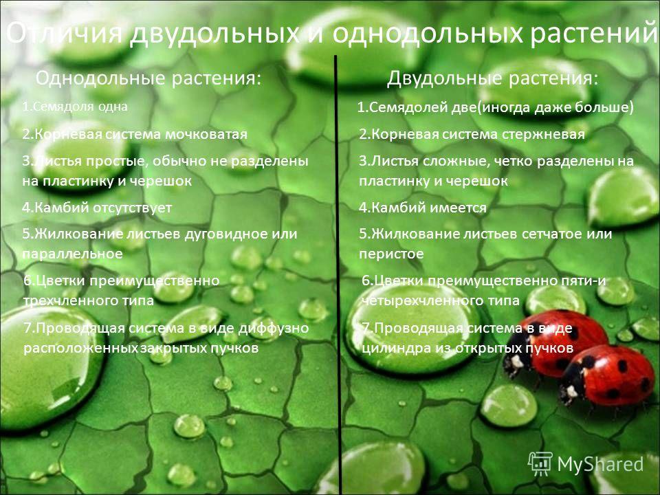 Однодольные растения:Двудольные растения: Отличия двудольных и однодольных растений 1.Семядоля одна 1.Семядолей две(иногда даже больше) 2.Корневая система мочковатая2.Корневая система стержневая 3.Листья простые, обычно не разделены на пластинку и че
