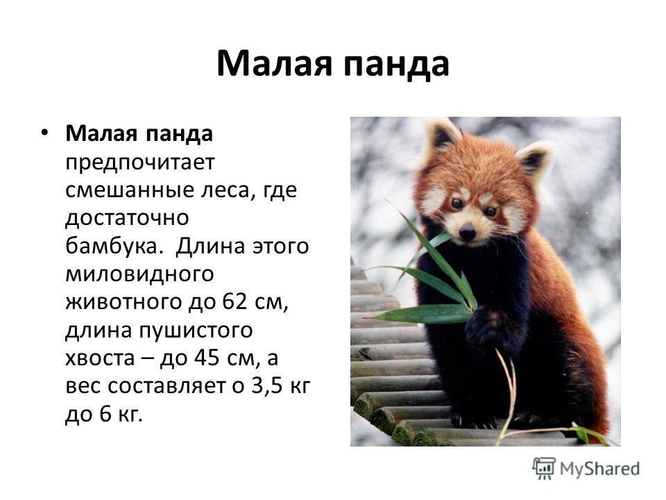 Малая панда Малая панда предпочитает смешанные леса, где достаточно бамбука. Длина этого миловидного животного до 62 см, длина пушистого хвоста – до 45 см, а вес составляет о 3,5 кг до 6 кг.