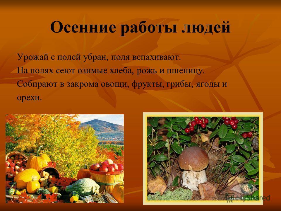Осенние работы людей Урожай с полей убран, поля вспахивают. На полях сеют озимые хлеба, рожь и пшеницу. Собирают в закрома овощи, фрукты, грибы, ягоды и орехи.