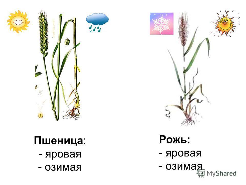 Пшеница: - яровая - озимая Рожь: - яровая - озимая