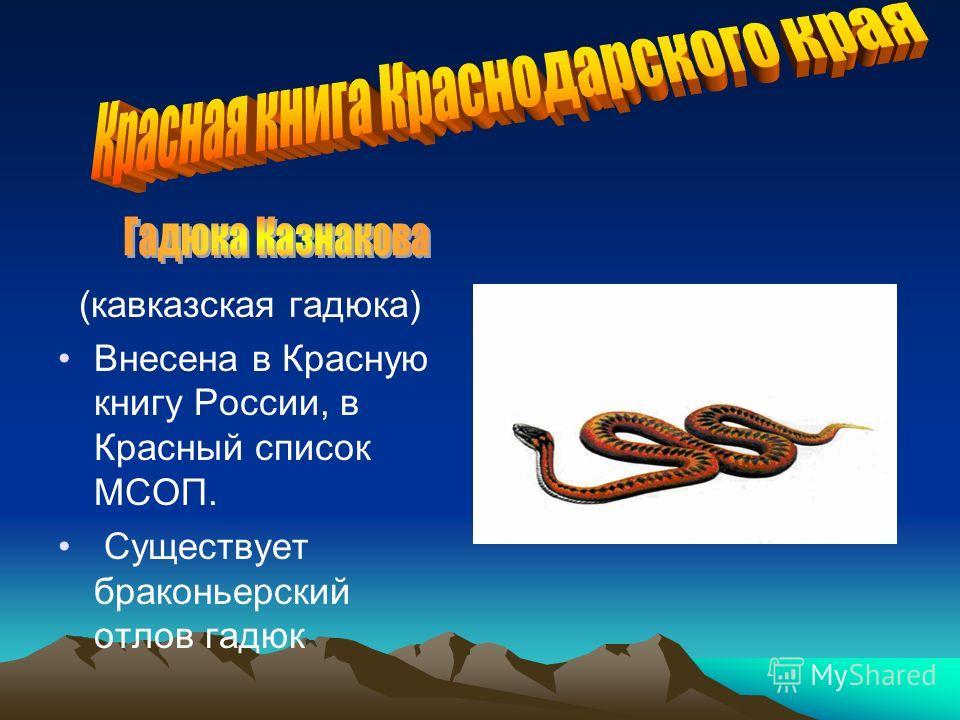 (кавказская гадюка) Внесена в Красную книгу России, в Красный список МСОП. Существует браконьерский отлов гадюк