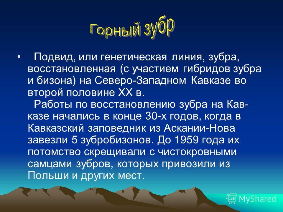 Подвид, или генетическая линия, зубра, восстановленная (с участием гибридов зубра и бизона) на Северо-Западном Кавказе во второй половине ХХ в. Работы по восстановлению зубра на Кав- казе начались в конце 30-х годов, когда в Кавказский заповедник из