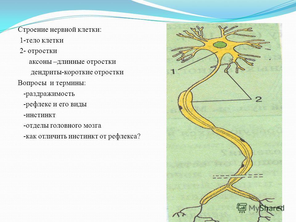 Строение нервной клетки: 1-тело клетки 2- отростки аксоны –длинные отростки дендриты-короткие отростки Вопросы и термины: -раздражимость -рефлекс и его виды -инстинкт -отделы головного мозга -как отличить инстинкт от рефлекса?