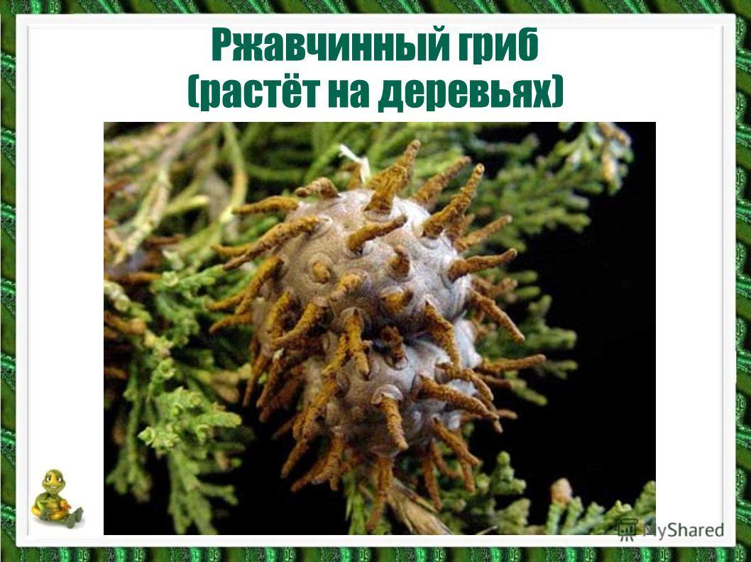 Ржавчинный гриб (растёт на деревьях)