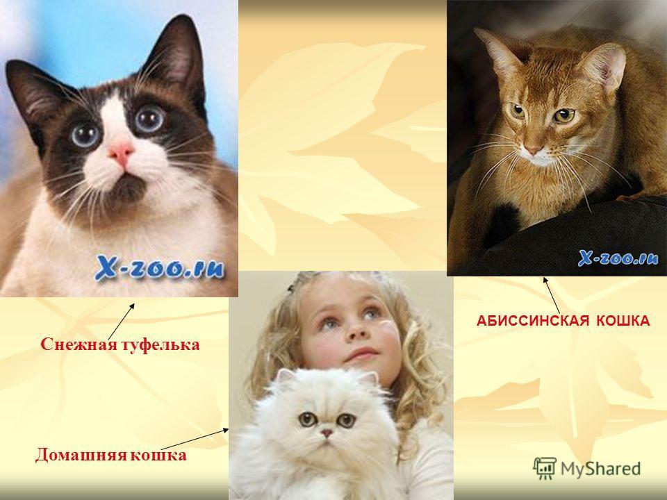 Снежная туфелька АБИССИНСКАЯ КОШКА Домашняя кошка