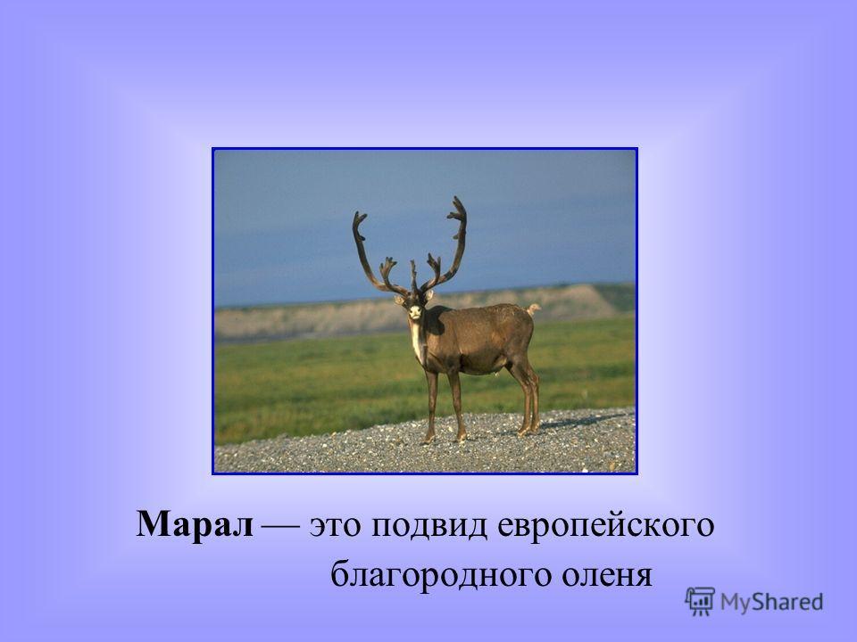 Марал это подвид европейского благородного оленя