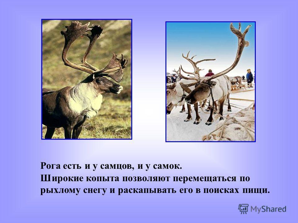 Рога есть и у самцов, и у самок. Широкие копыта позволяют перемещаться по рыхлому снегу и раскапывать его в поисках пищи.