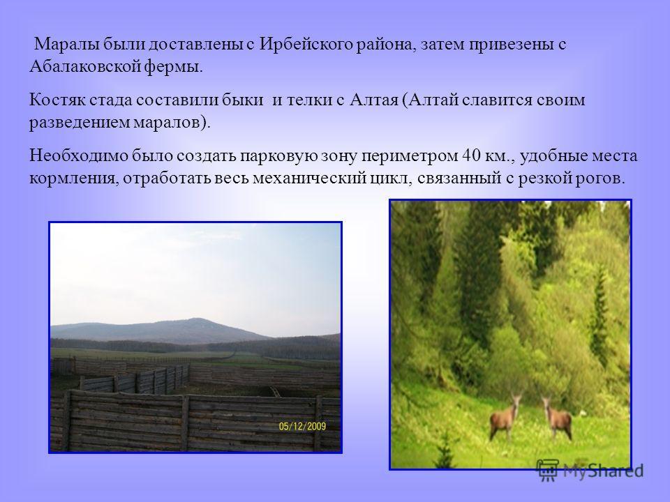 Маралы были доставлены с Ирбейского района, затем привезены с Абалаковской фермы. Костяк стада составили быки и телки с Алтая (Алтай славится своим разведением маралов). Необходимо было создать парковую зону периметром 40 км., удобные места кормления