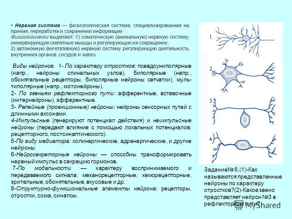 Нервная система физиологическая система, специализированная на приеме, переработке и сохранении информации Физиологически выделяют: 1) соматическую (анимальную) нервную систему, иннервирующую скелетные мышцы и регулирующую их сокращение; 2) автономну