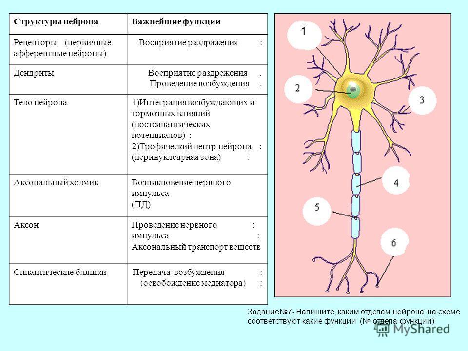 Структуры нейронаВажнейшие функции Рецепторы (первичные афферентные нейроны) Восприятие раздражения : ДендритыВосприятие раздрежения. Проведение возбуждения. Тело нейрона1)Интеграция возбуждающих и тормозных влияний (постсинаптических потенциалов) :