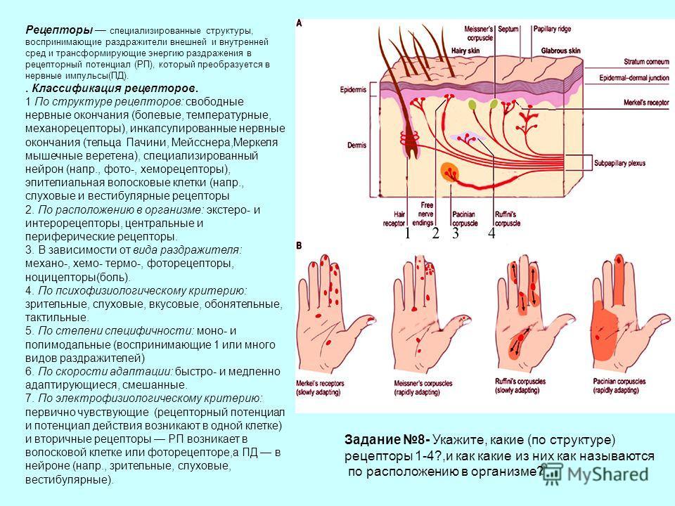 Рецепторы специализированные структуры, воспринимающие раздражители внешней и внутренней сред и трансформирующие энергию раздражения в рецепторный потенциал (РП), который преобразуется в нервные импульсы(ПД).. Классификация рецепторов. 1 По структуре