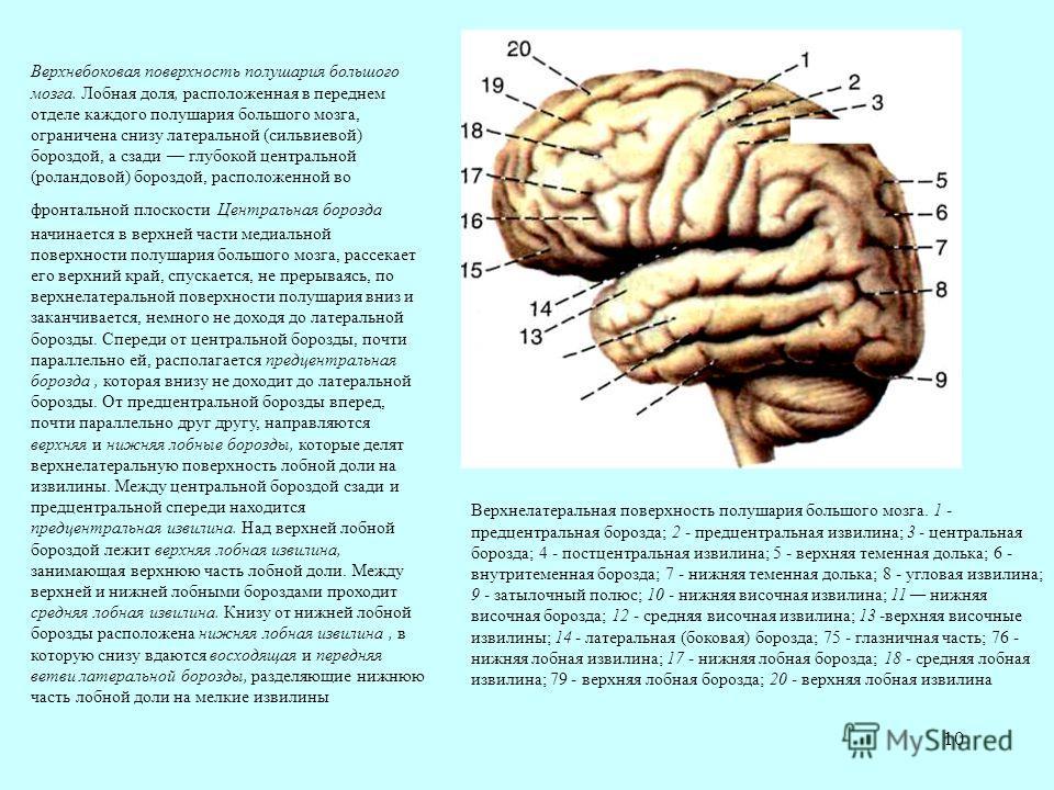 10 Верхнебоковая поверхность полушария большого мозга. Лобная доля, расположенная в переднем отделе каждого полушария большого мозга, ограничена снизу латеральной (сильвиевой) бороздой, а сзади глубокой центральной (роландовой) бороздой, расположенно