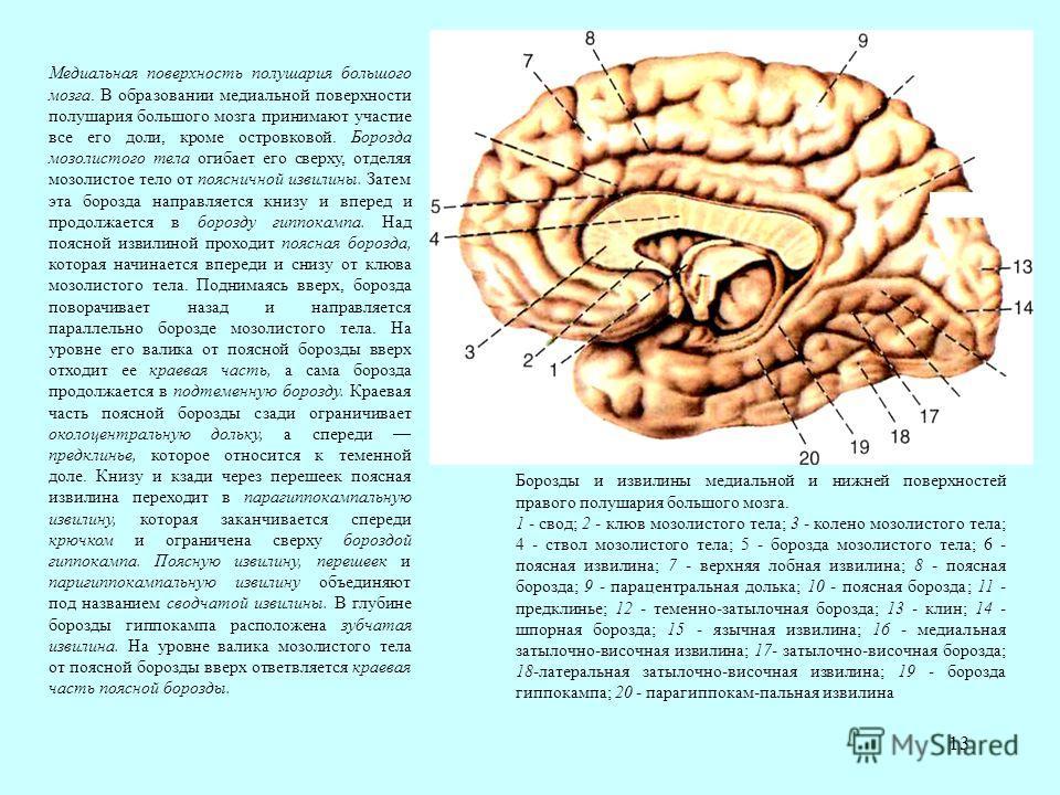 13 Медиальная поверхность полушария большого мозга. В образовании медиальной поверхности полушария большого мозга принимают участие все его доли, кроме островковой. Борозда мозолистого тела огибает его сверху, отделяя мозолистое тело от поясничной из