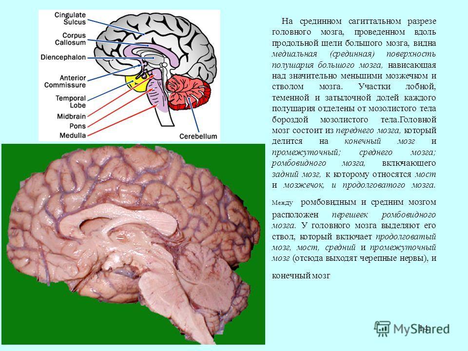 14 На срединном сагиттальном разрезе головного мозга, проведенном вдоль продольной щели большого мозга, видна медиальная (срединная) поверхность полушария большого мозга, нависающая над значительно меньшими мозжечком и стволом мозга. Участки лобной,