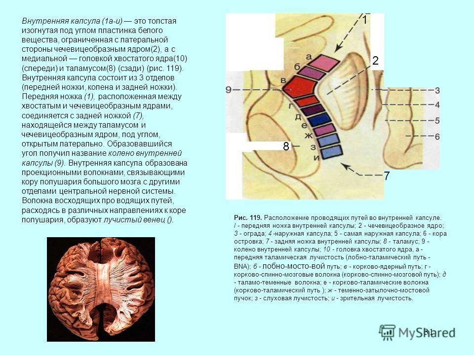 31 Внутренняя капсула (1а-и) это толстая изогнутая под углом пластинка белого вещества, ограниченная с латеральной стороны чечевицеобразным ядром(2), а с медиальной головкой хвостатого ядра(10) (спереди) и таламусом(8) (сзади) (рис. 119). Внутренняя
