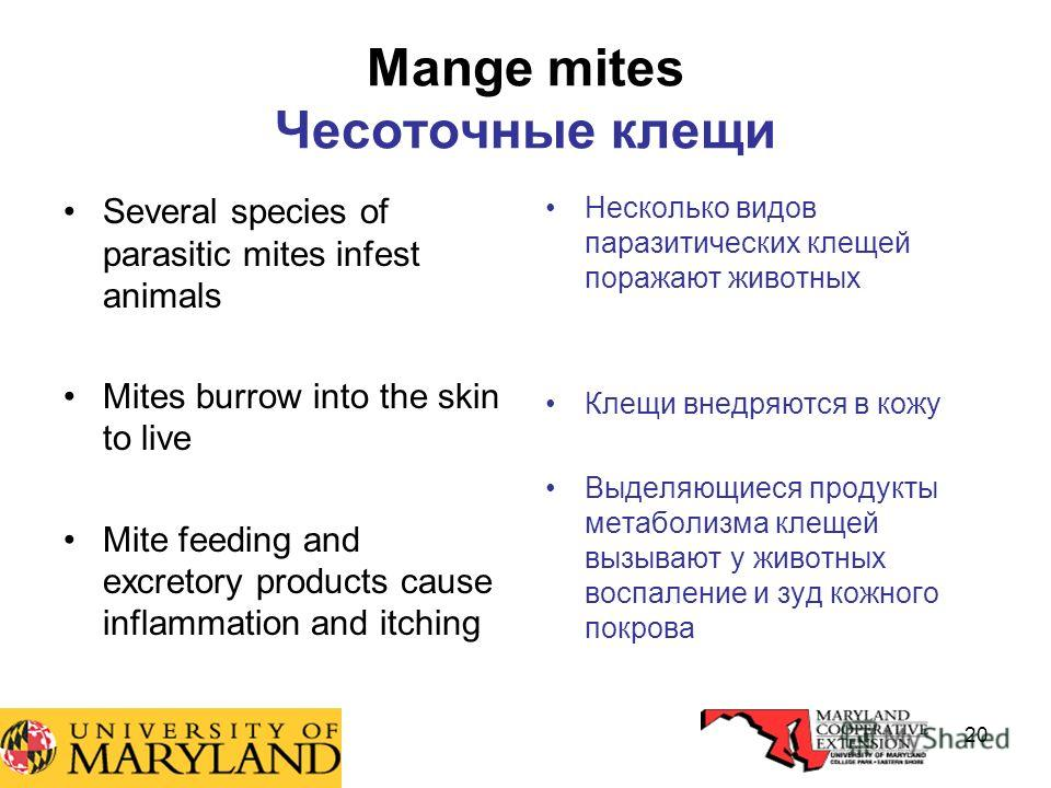 20 Mange mites Чесоточные клещи Several species of parasitic mites infest animals Mites burrow into the skin to live Mite feeding and excretory products cause inflammation and itching Несколько видов паразитических клещей поражают животных Клещи внед