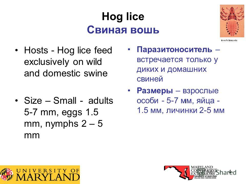 4 Hog lice Свиная вошь Hosts - Hog lice feed exclusively on wild and domestic swine Size – Small - adults 5-7 mm, eggs 1.5 mm, nymphs 2 – 5 mm Паразитоноситель – встречается только у диких и домашних свиней Размеры – взрослые особи - 5-7 мм, яйца - 1