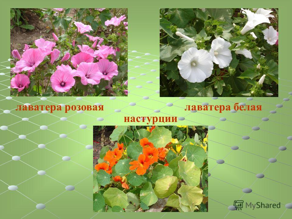 лаватера розоваялаватера белая настурции