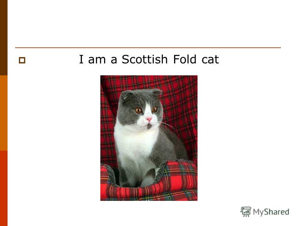 I am a Scottish Fold cat