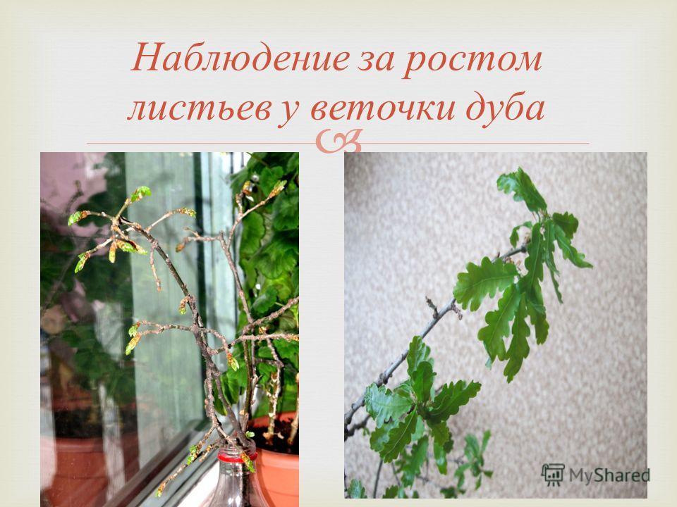 Наблюдение за ростом листьев у веточки дуба