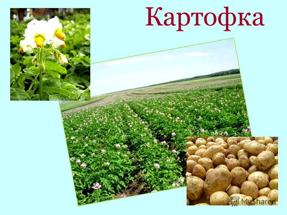 Картофка
