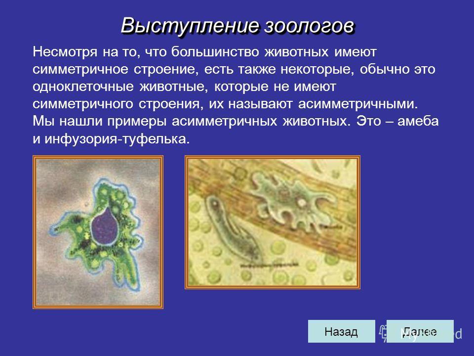 НазадДалее Выступление зоологов Несмотря на то, что большинство животных имеют симметричное строение, есть также некоторые, обычно это одноклеточные животные, которые не имеют симметричного строения, их называют асимметричными. Мы нашли примеры асимм