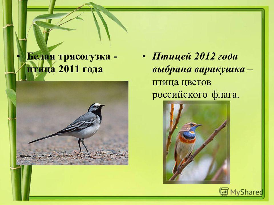 Белая трясогузка - птица 2011 года Птицей 2012 года выбрана варакушка – птица цветов российского флага.
