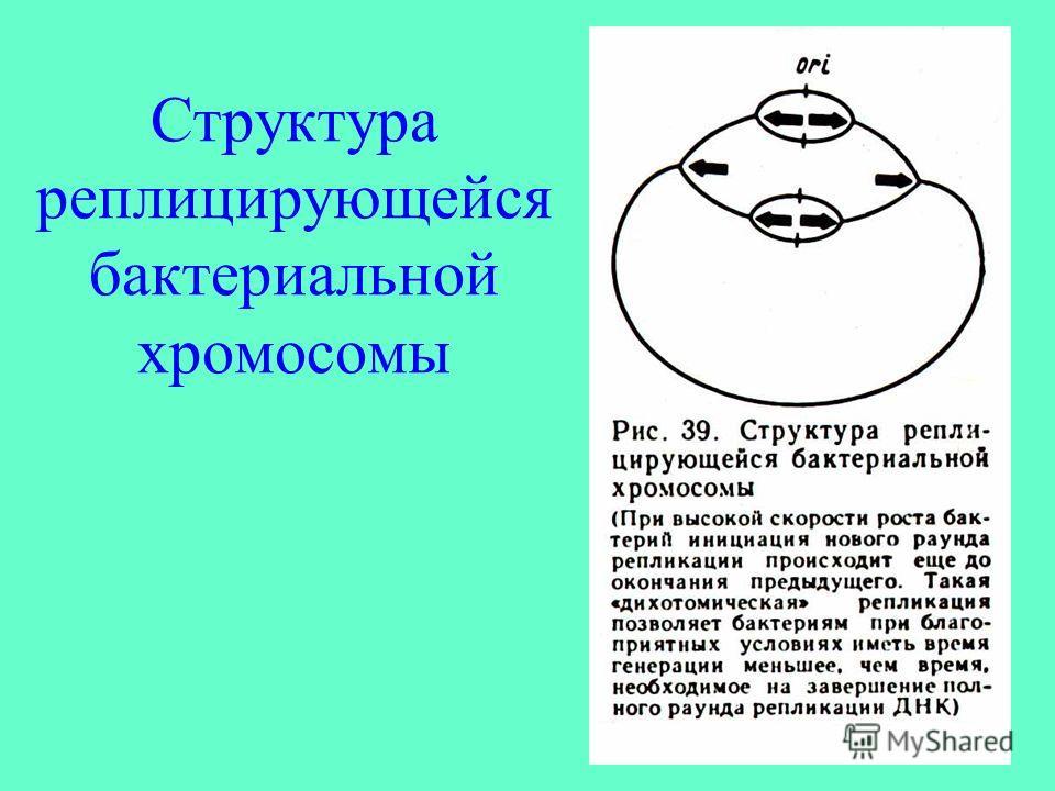 Структура реплицирующейся бактериальной хромосомы