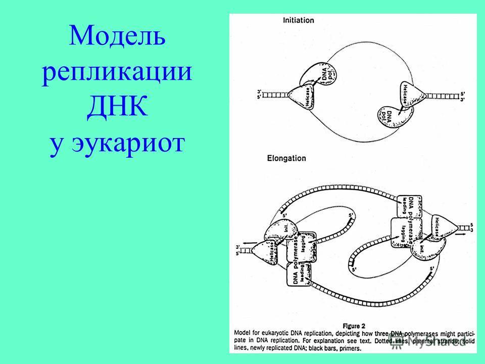 Модель репликации ДНК у эукариот