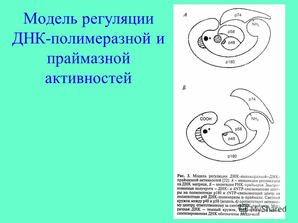 Модель регуляции ДНК-полимеразной и праймазной активностей