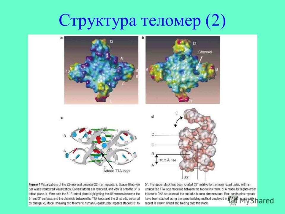 Структура теломер (2)