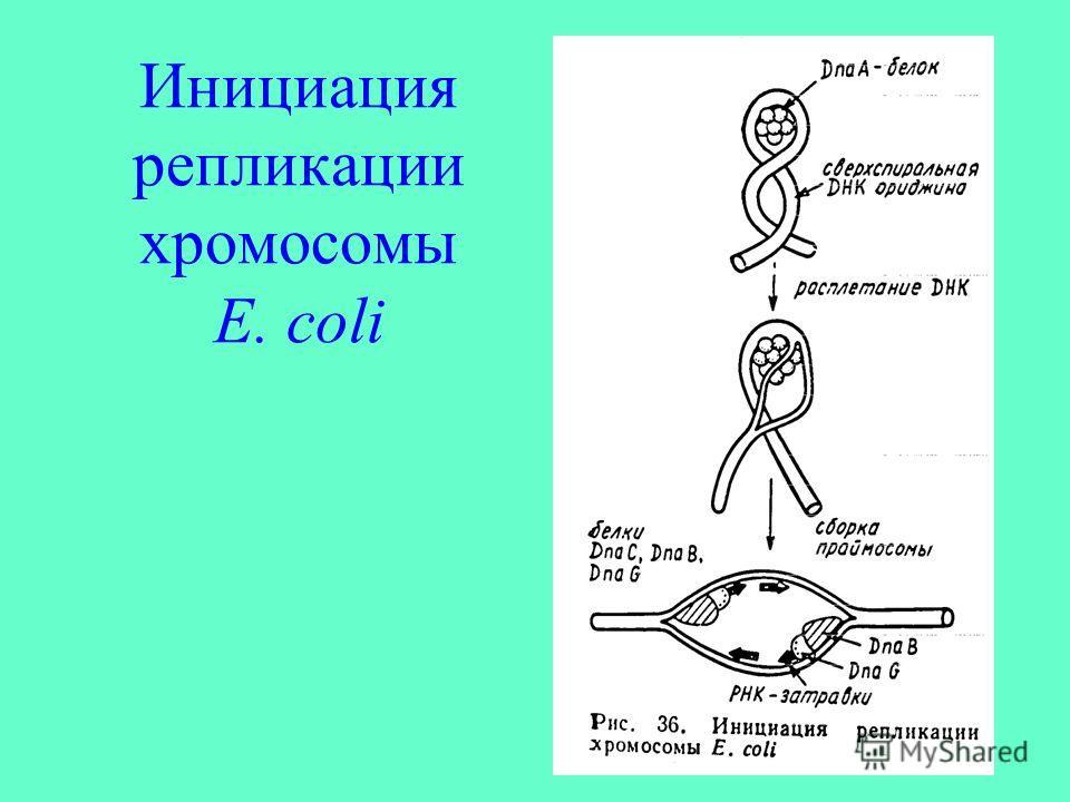 Инициация репликации хромосомы E. coli