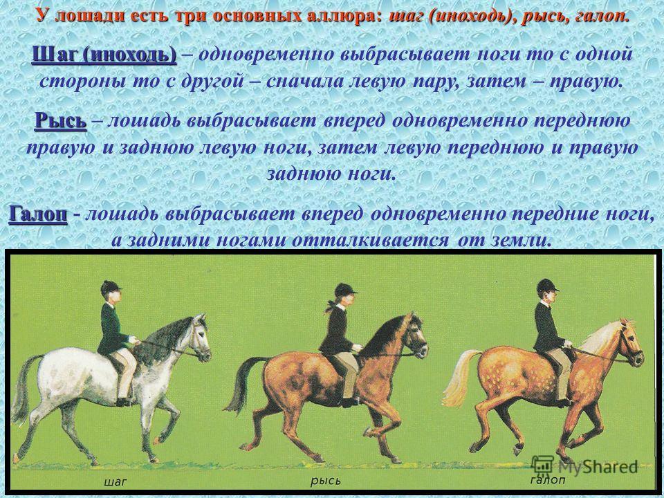 У лошади есть три основных аллюра:шаг (иноходь), рысь, галоп. У лошади есть три основных аллюра: шаг (иноходь), рысь, галоп. Шаг (иноходь) Шаг (иноходь) – одновременно выбрасывает ноги то с одной стороны то с другой – сначала левую пару, затем – прав