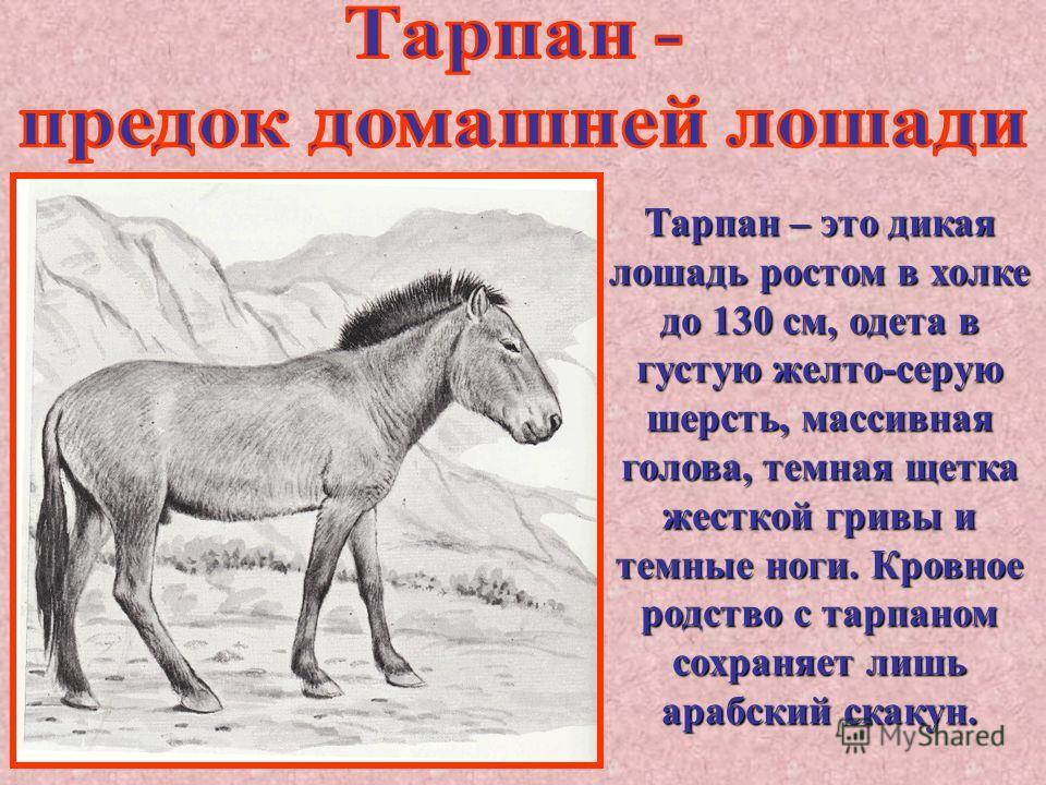 Тарпан – это дикая лошадь ростом в холке до 130 см, одета в густую желто-серую шерсть, массивная голова, темная щетка жесткой гривы и темные ноги. Кровное родство с тарпаном сохраняет лишь арабский скакун.