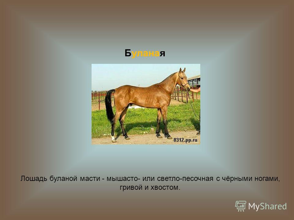 Буланая Лошадь буланой масти - мышасто- или светло-песочная с чёрными ногами, гривой и хвостом.