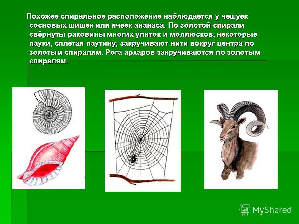 Похожее спиральное расположение наблюдается у чешуек сосновых шишек или ячеек ананаса. По золотой спирали свёрнуты раковины многих улиток и моллюсков, некоторые пауки, сплетая паутину, закручивают нити вокруг центра по золотым спиралям. Рога архаров