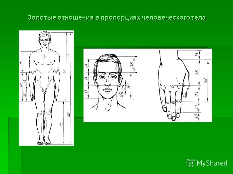 Золотые отношения в пропорциях человеческого тела