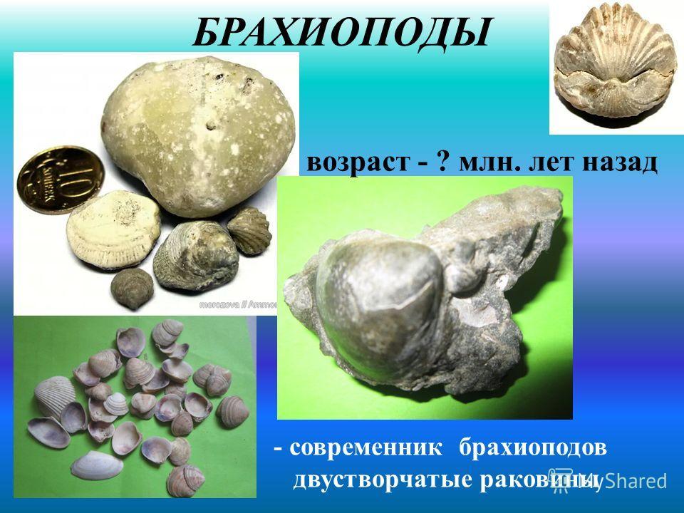 БРАХИОПОДЫ - современник брахиоподов двустворчатые раковины возраст - ? млн. лет назад