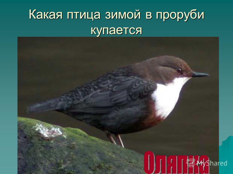 Какая птица зимой в проруби купается